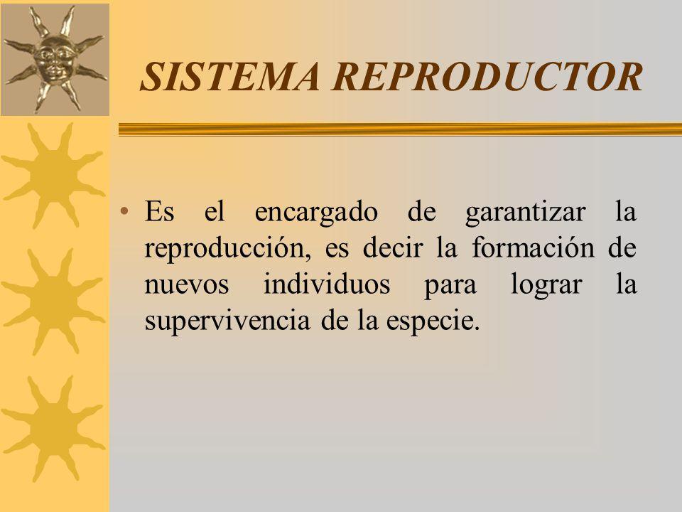 SISTEMA REPRODUCTOR Es el encargado de garantizar la reproducción, es decir la formación de nuevos individuos para lograr la supervivencia de la espec