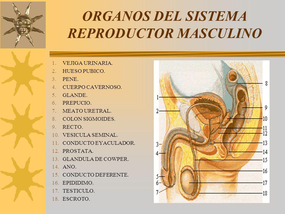ORGANOS DEL SISTEMA REPRODUCTOR MASCULINO 1.VEJIGA URINARIA. 2.HUESO PUBICO. 3.PENE. 4.CUERPO CAVERNOSO. 5.GLANDE. 6.PREPUCIO. 7.MEATO URETRAL. 8.COLO