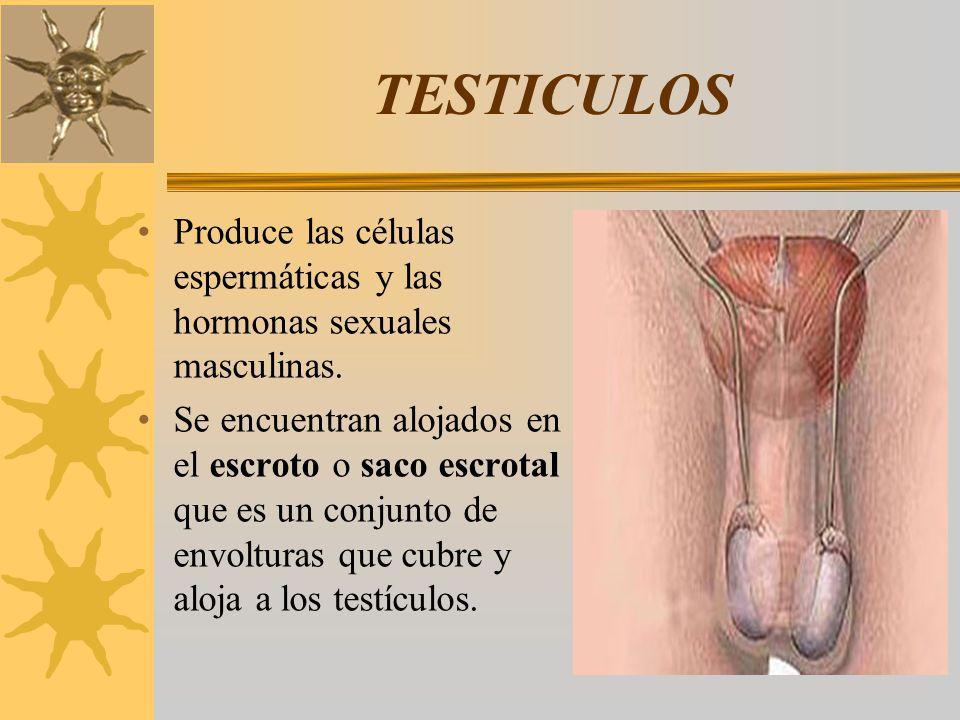 TESTICULOS Produce las células espermáticas y las hormonas sexuales masculinas. Se encuentran alojados en el escroto o saco escrotal que es un conjunt