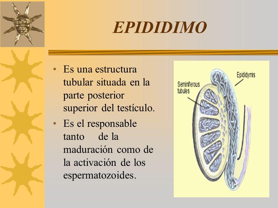 EPIDIDIMO Es una estructura tubular situada en la parte posterior superior del testículo. Es el responsable tanto de la maduración como de la activaci
