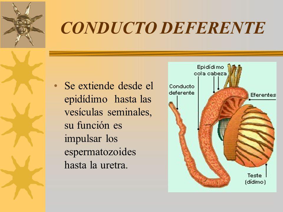 CONDUCTO DEFERENTE Se extiende desde el epidídimo hasta las vesículas seminales, su función es impulsar los espermatozoides hasta la uretra.