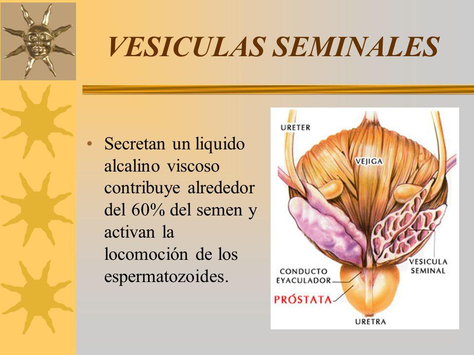 VESICULAS SEMINALES Secretan un liquido alcalino viscoso contribuye alrededor del 60% del semen y activan la locomoción de los espermatozoides.