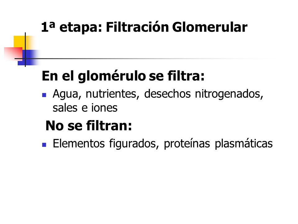 1ª etapa: Filtración Glomerular En el glomérulo se filtra: Agua, nutrientes, desechos nitrogenados, sales e iones No se filtran: Elementos figurados,