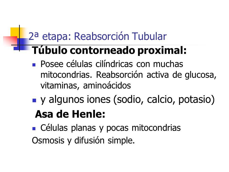 2ª etapa: Reabsorción Tubular Túbulo contorneado proximal: Posee células cilíndricas con muchas mitocondrias. Reabsorción activa de glucosa, vitaminas