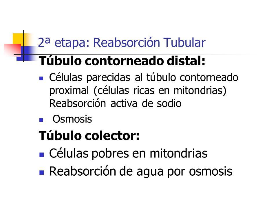 2ª etapa: Reabsorción Tubular Túbulo contorneado distal: Células parecidas al túbulo contorneado proximal (células ricas en mitondrias) Reabsorción ac