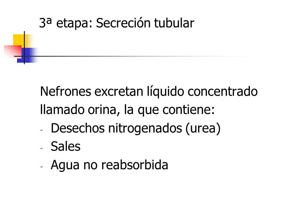 3ª etapa: Secreción tubular Nefrones excretan líquido concentrado llamado orina, la que contiene: - Desechos nitrogenados (urea) - Sales - Agua no rea