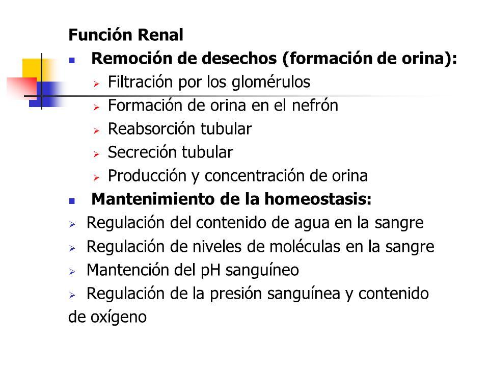 Función Renal Remoción de desechos (formación de orina):  Filtración por los glomérulos  Formación de orina en el nefrón  Reabsorción tubular  Sec
