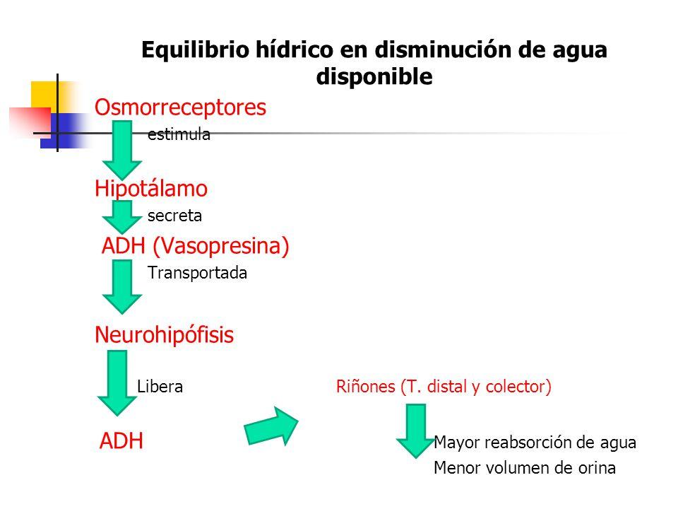 Equilibrio hídrico en disminución de agua disponible Osmorreceptores estimula Hipotálamo secreta ADH (Vasopresina) Transportada Neurohipófisis Libera