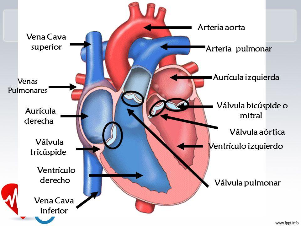 Hermosa Anatomía De La Arteria Pulmonar Derecha Composición ...