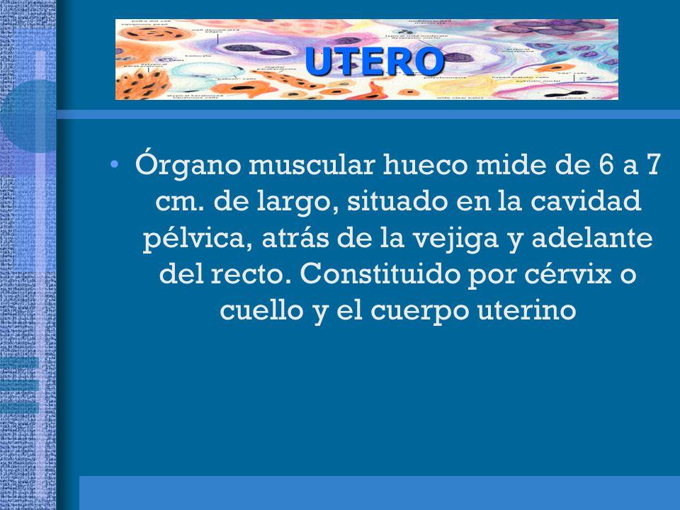 CUELLO UTERINO: estructura tubular que sale a la vagina.
