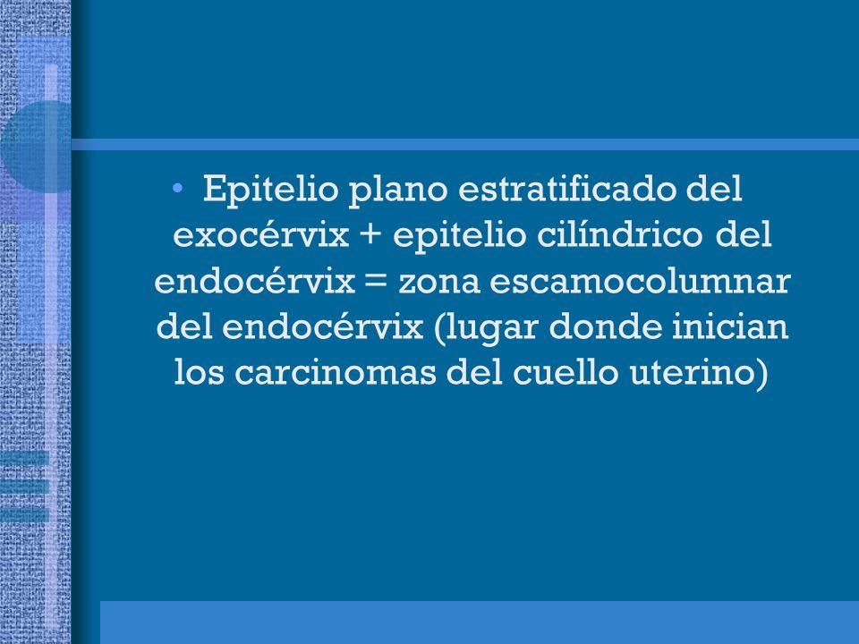 Epitelio plano estratificado del exocérvix + epitelio cilíndrico del endocérvix = zona escamocolumnar del endocérvix (lugar donde inician los carcinomas del cuello uterino)