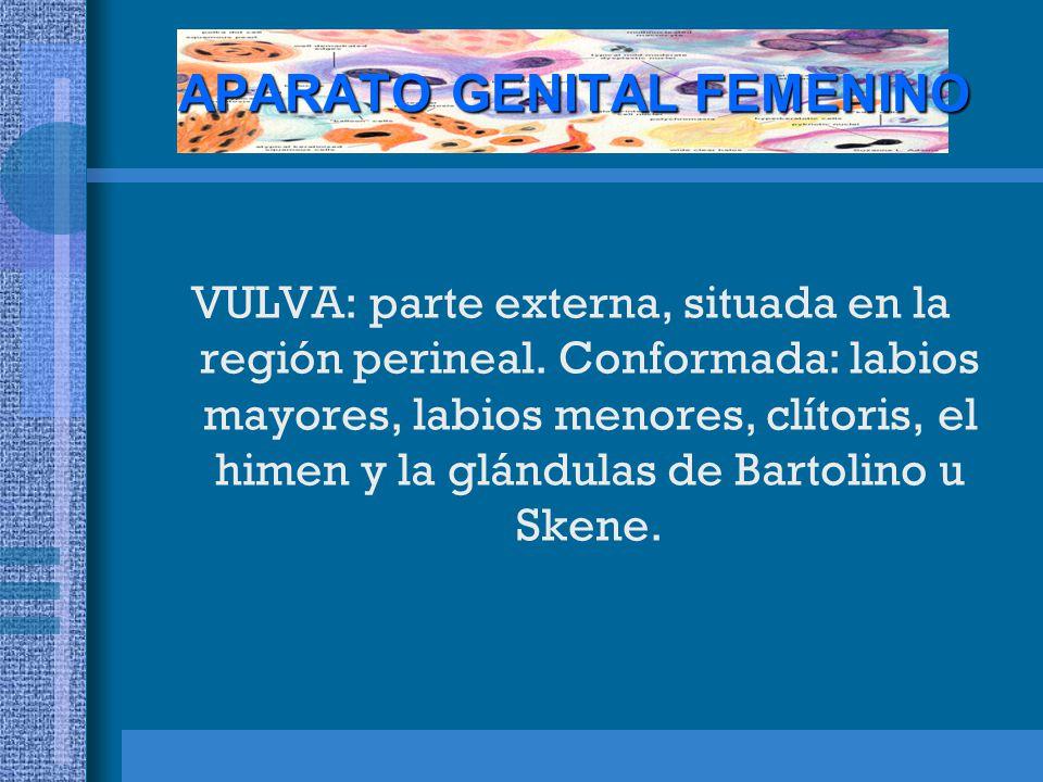 APARATO GENITAL FEMENINO VULVA: parte externa, situada en la región perineal.