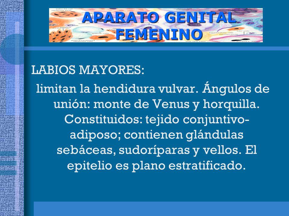 APARATO GENITAL FEMENINO LABIOS MAYORES: limitan la hendidura vulvar.
