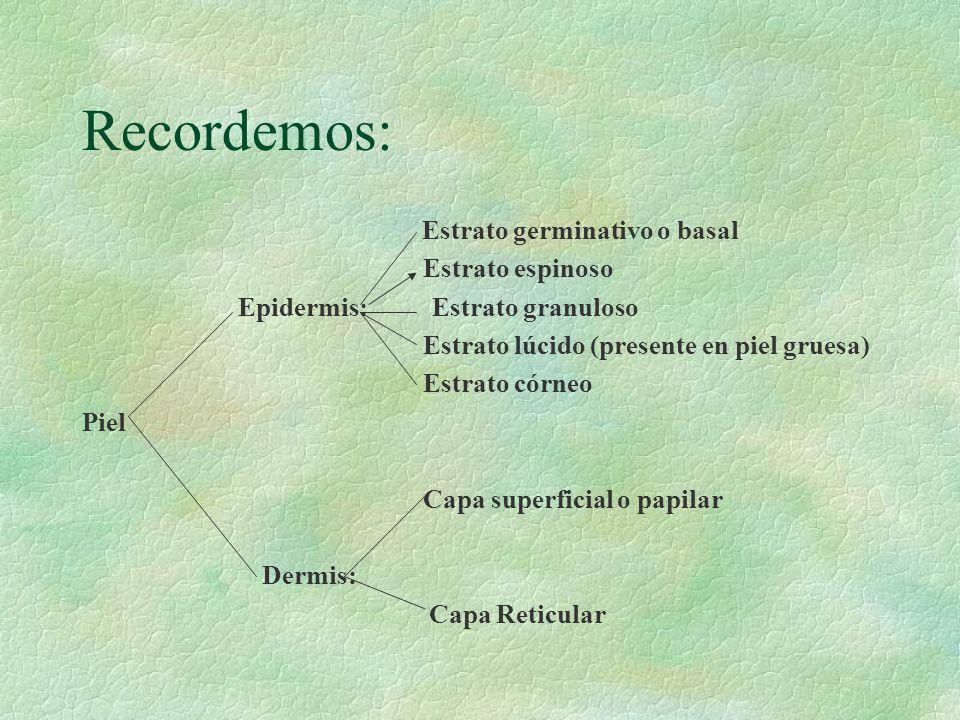 Recordemos: Estrato germinativo o basal Estrato espinoso Epidermis: Estrato granuloso Estrato lúcido (presente en piel gruesa) Estrato córneo Piel Cap