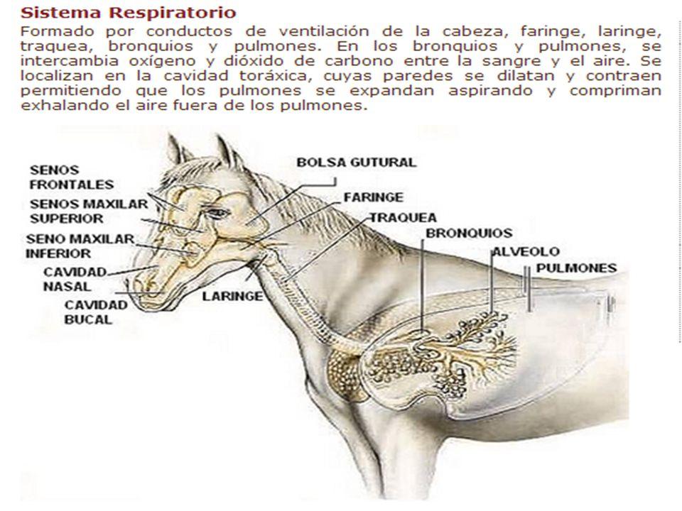 Lujoso Anatomía Bolsa Gutural Embellecimiento - Imágenes de Anatomía ...
