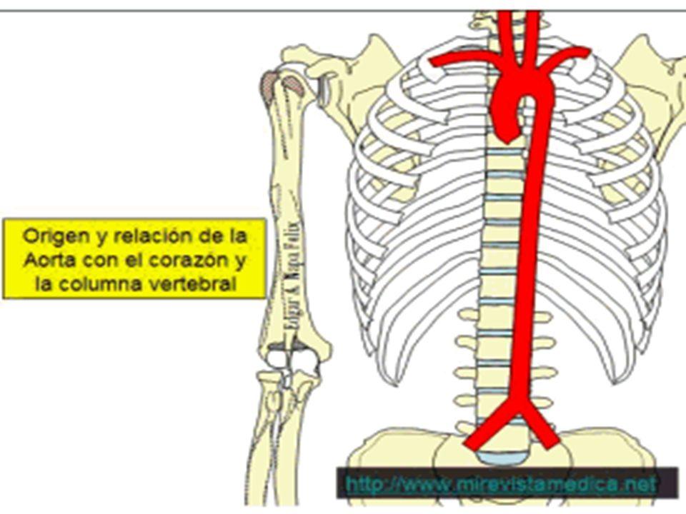 Vistoso Anatomía De Aorta Torácica Colección de Imágenes - Imágenes ...