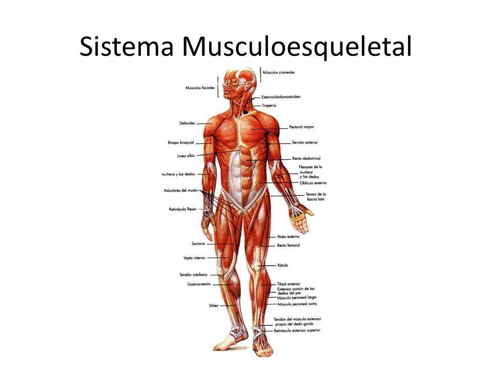 Anatomía Sistema Musculoesqueletal Cartílago= cubre la superficie de huesos opuestos, sirve de amortiguador, facilita movimiento.