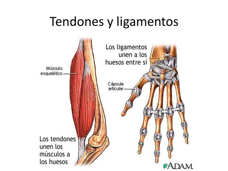 Anatomía Sistema Musculoesqueletal Músculo= unido a hueso por el tendón= cordón fibroso fuerte.