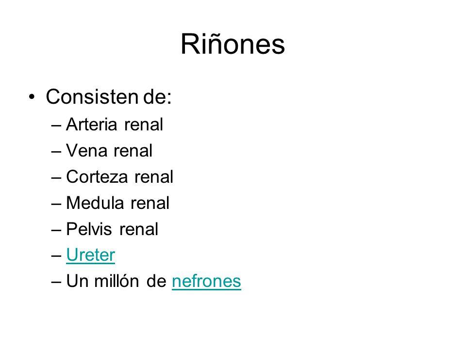 Riñones Consisten de: –Arteria renal –Vena renal –Corteza renal –Medula renal –Pelvis renal –UreterUreter –Un millón de nefronesnefrones