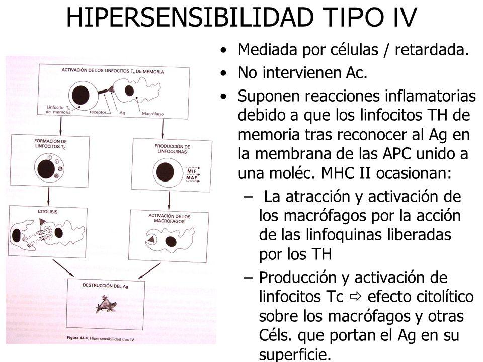 HIPERSENSIBILIDAD TIPO IV Mediada por células / retardada. No intervienen Ac. Suponen reacciones inflamatorias debido a que los linfocitos TH de memor