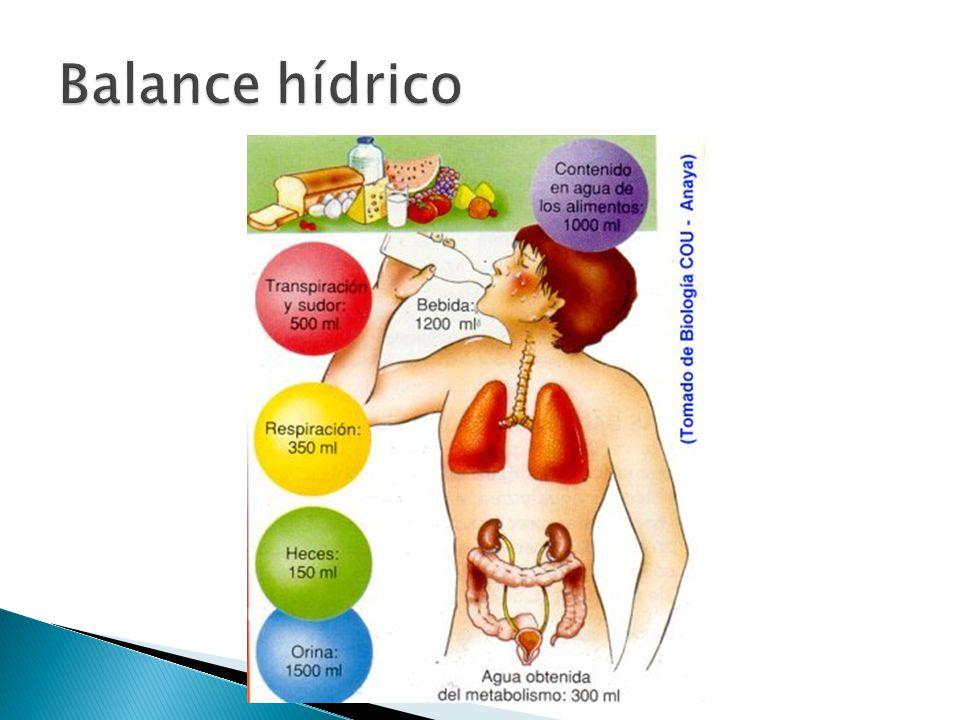  Se estima que la ingesta de líquidos debe ser paralela a la ingesta energética.