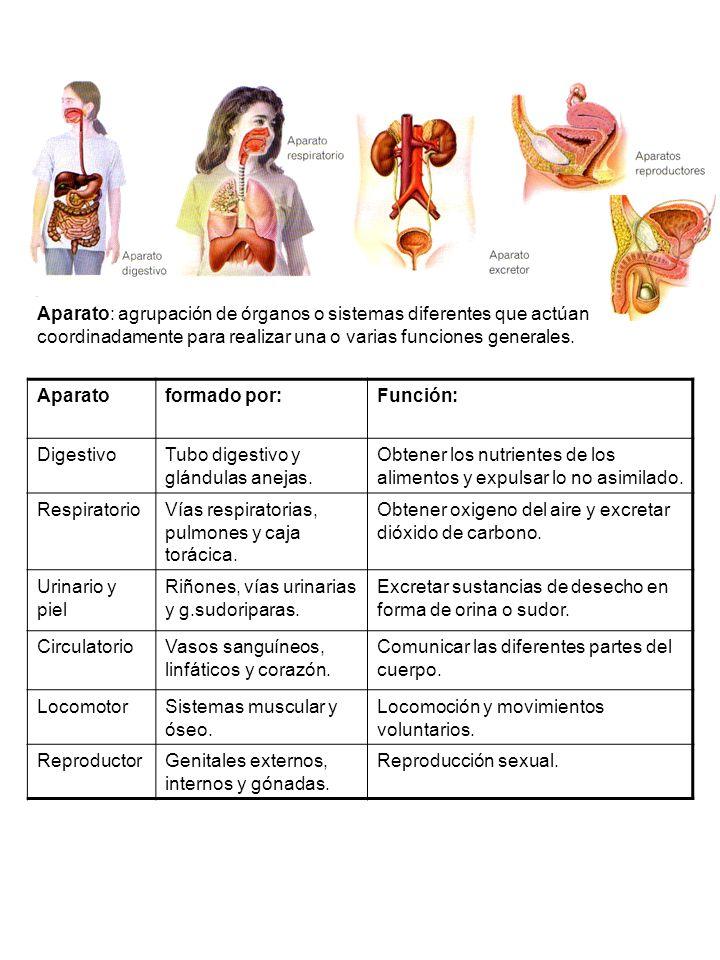 Aparatoformado por:Función: DigestivoTubo digestivo y glándulas anejas.