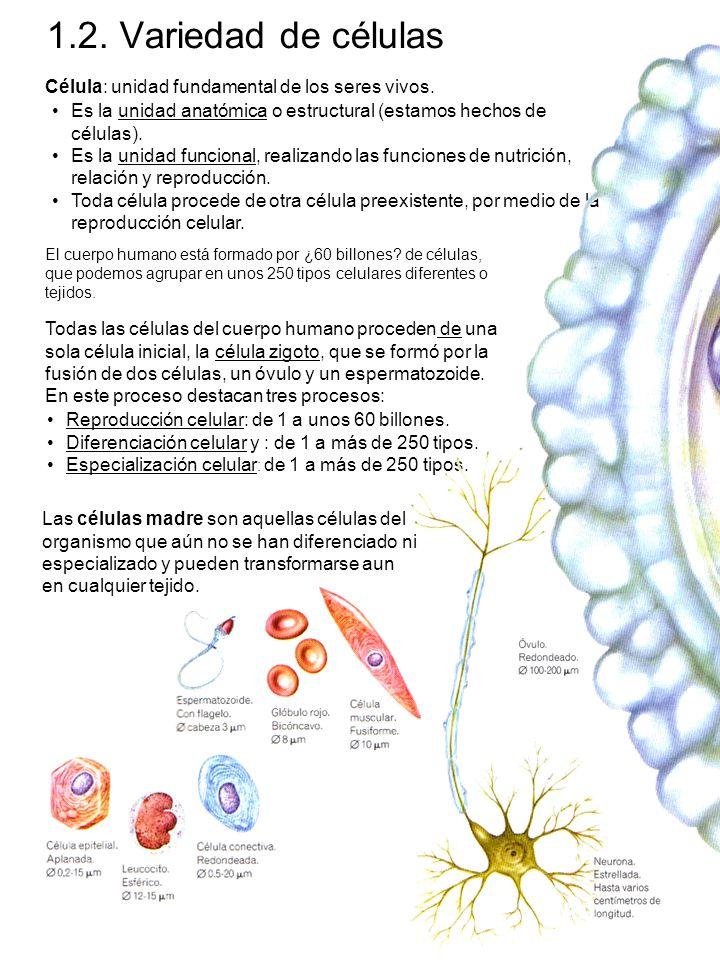 1.2.Variedad de células Célula: unidad fundamental de los seres vivos.