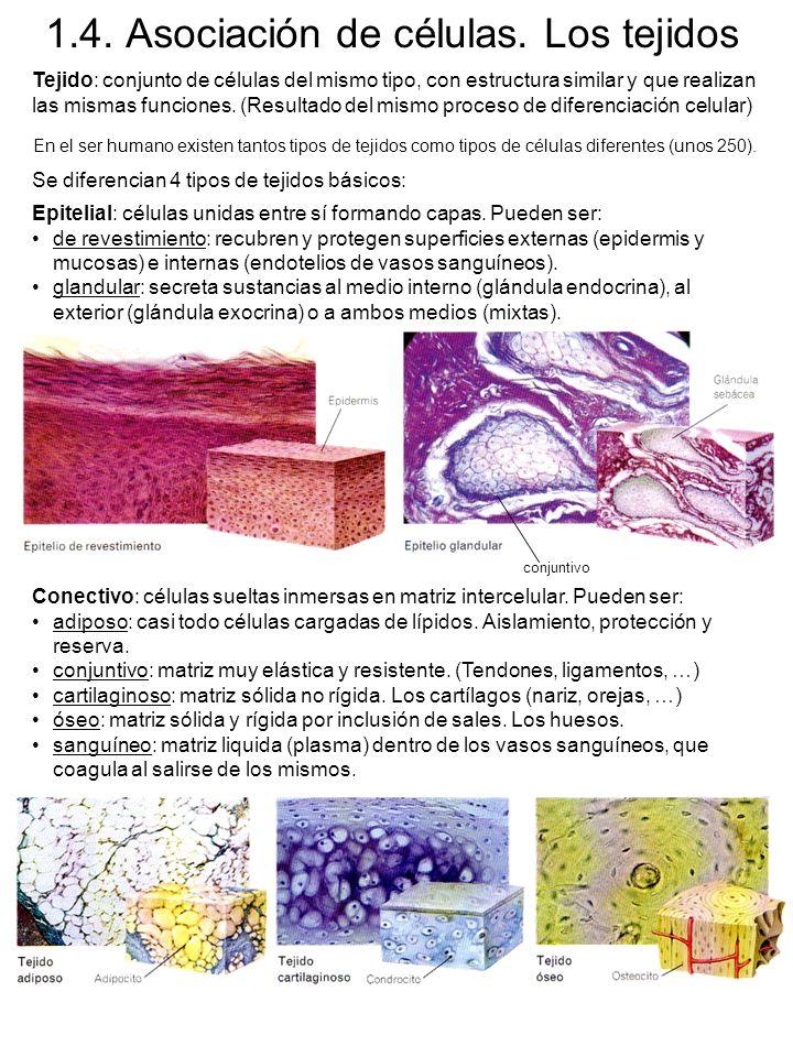 1.4.Asociación de células.