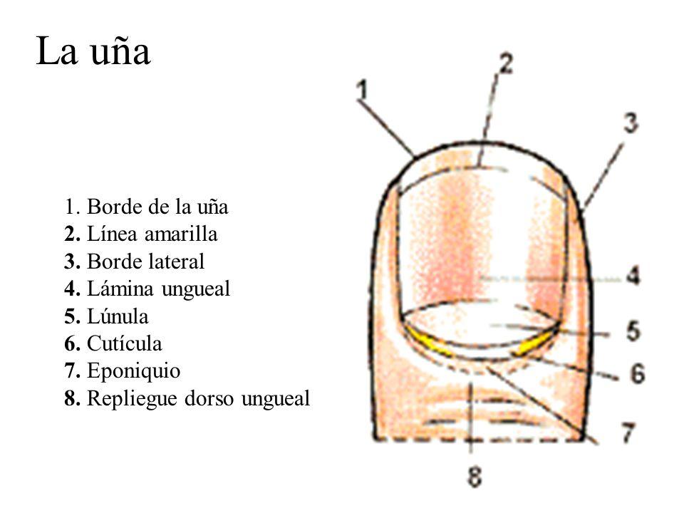 Increíble Eponiquio Foto - Anatomía de Las Imágenesdel Cuerpo Humano ...