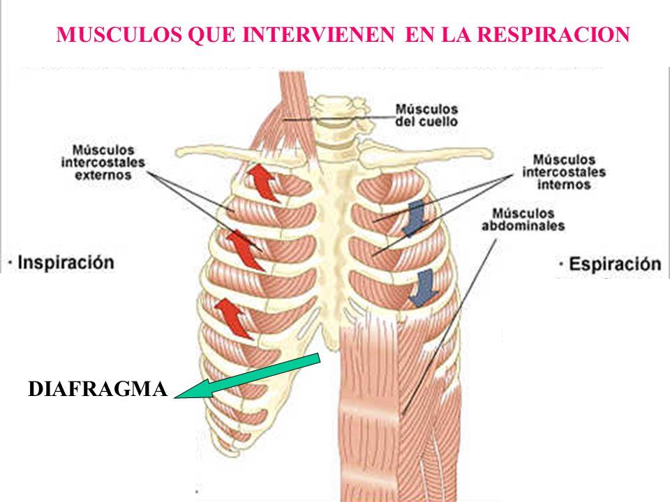 Encantador Musculos Intercostales Bandera - Anatomía de Las ...
