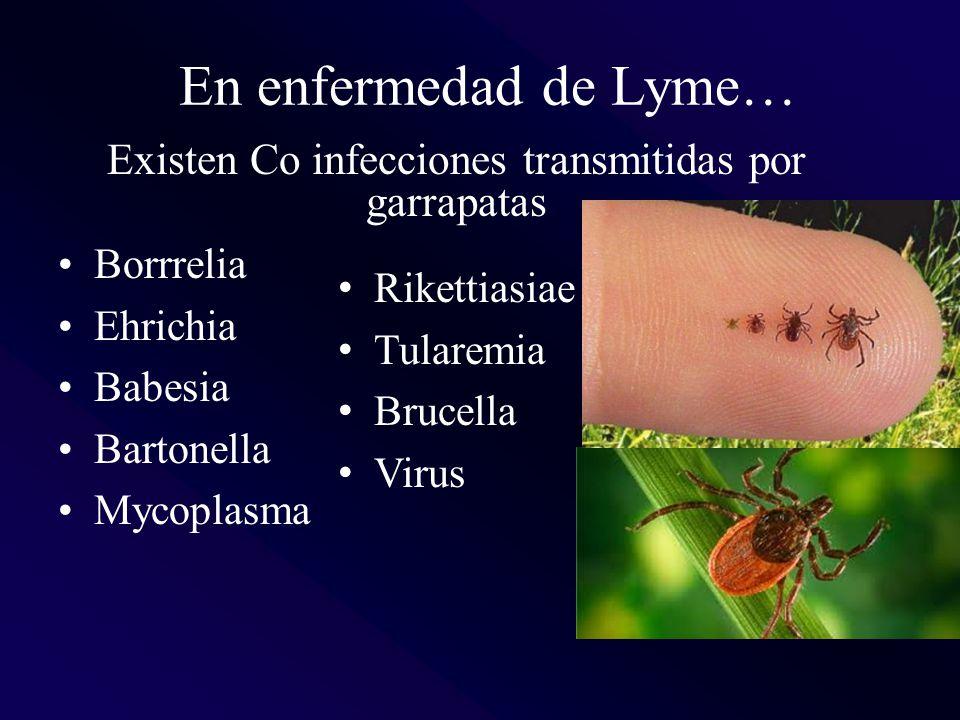 Borrrelia Ehrichia Babesia Bartonella Mycoplasma Rikettiasiae Tularemia Brucella Virus En enfermedad de Lyme… Existen Co infecciones transmitidas por garrapatas