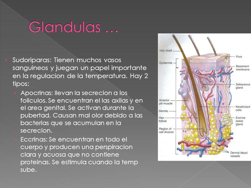 › Sudoriparas: Tienen muchos vasos sanguineos y juegan un papel importante en la regulacion de la temperatura. Hay 2 tipos:  Apocrinas: llevan la sec