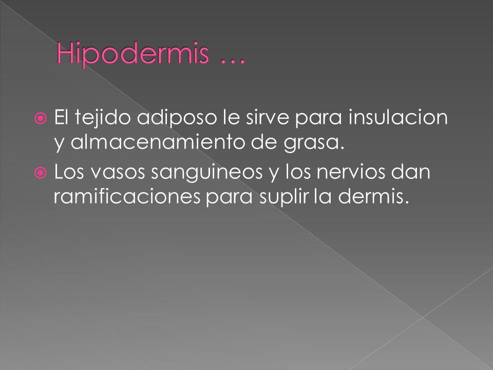  El tejido adiposo le sirve para insulacion y almacenamiento de grasa.  Los vasos sanguineos y los nervios dan ramificaciones para suplir la dermis.