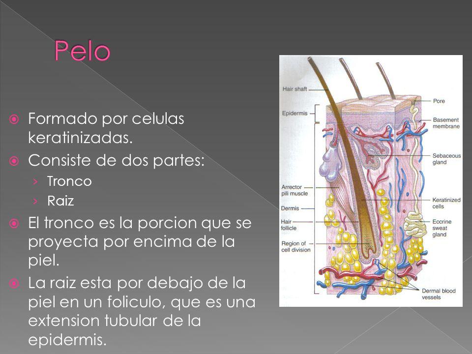  Formado por celulas keratinizadas.  Consiste de dos partes: › Tronco › Raiz  El tronco es la porcion que se proyecta por encima de la piel.  La r