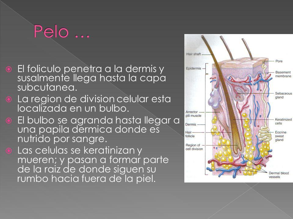  El foliculo penetra a la dermis y susalmente llega hasta la capa subcutanea.  La region de division celular esta localizada en un bulbo.  El bulbo