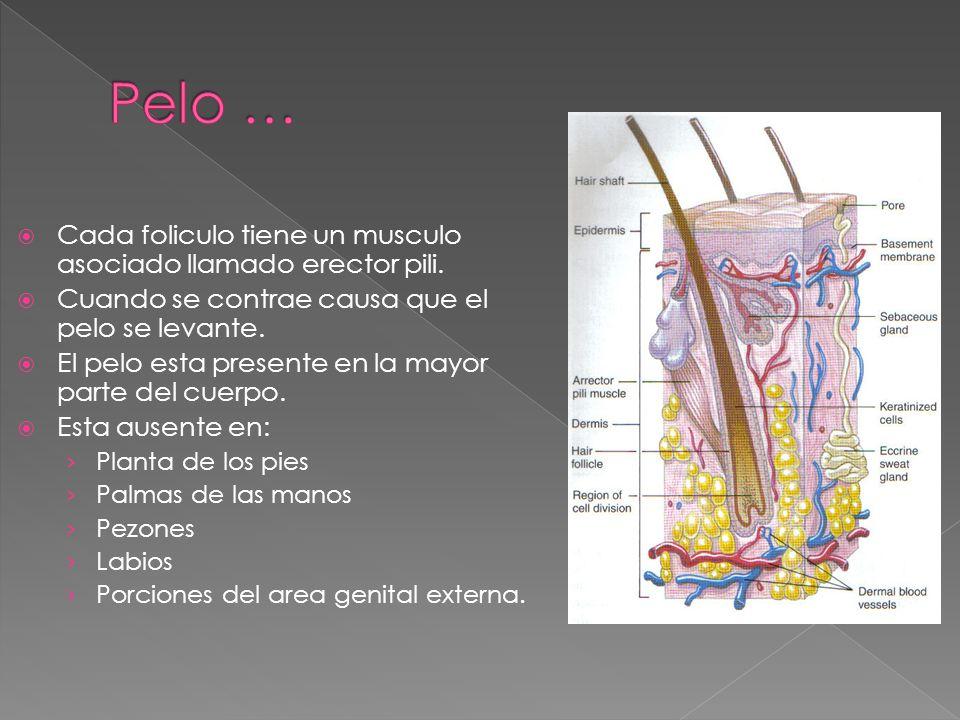  Cada foliculo tiene un musculo asociado llamado erector pili.  Cuando se contrae causa que el pelo se levante.  El pelo esta presente en la mayor