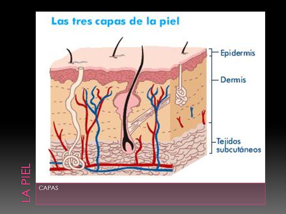  Capa fina exterior formada de epitelio escamoso estratificado.