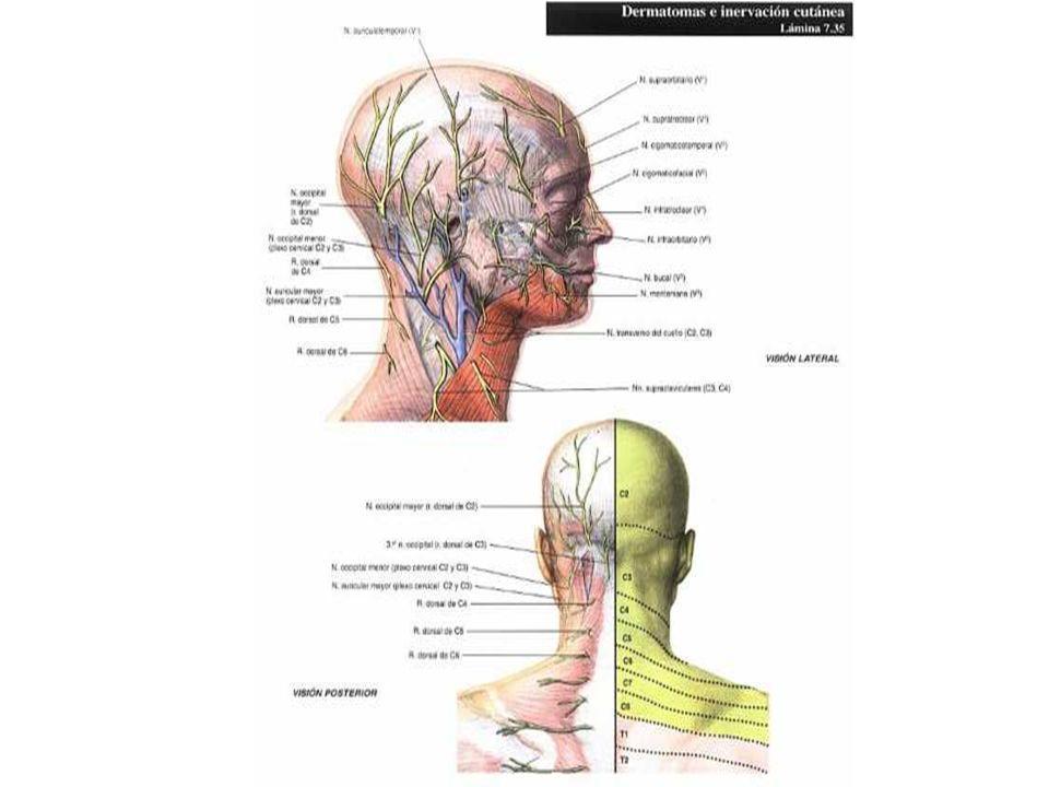 Vistoso Dermatomas Cabeza Festooning - Anatomía de Las Imágenesdel ...