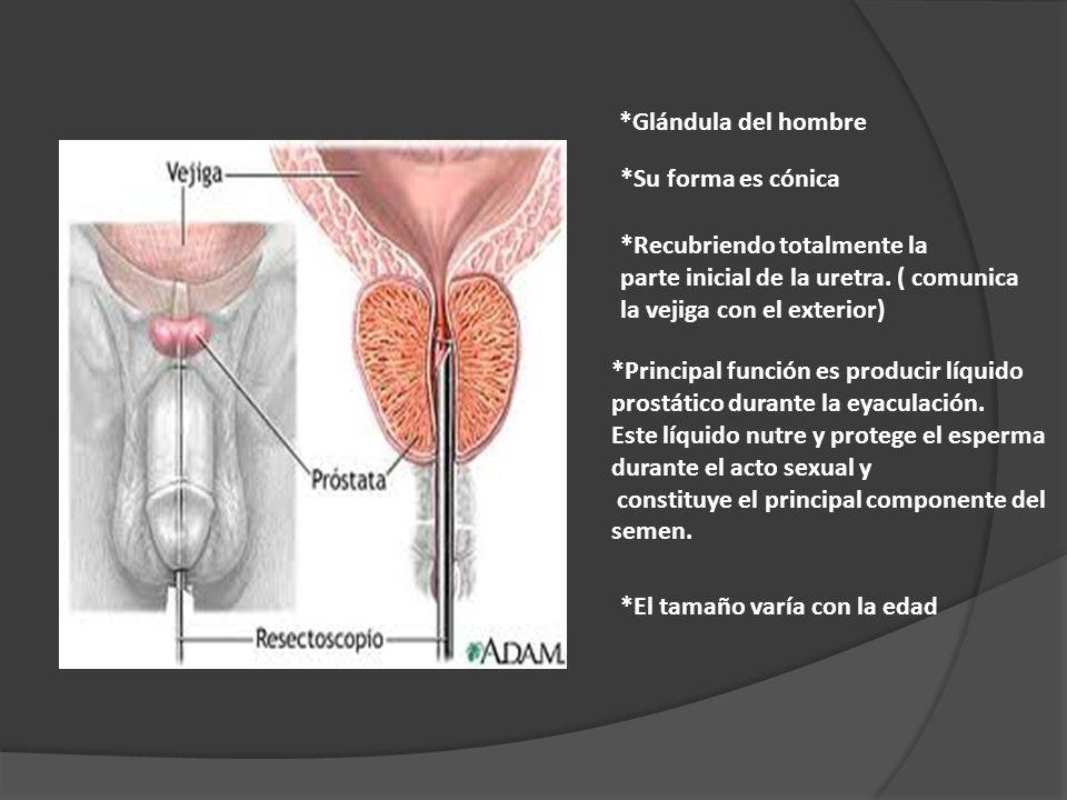 *Glándula del hombre *Su forma es cónica *Recubriendo totalmente la parte inicial de la uretra. ( comunica la vejiga con el exterior) *Principal funci