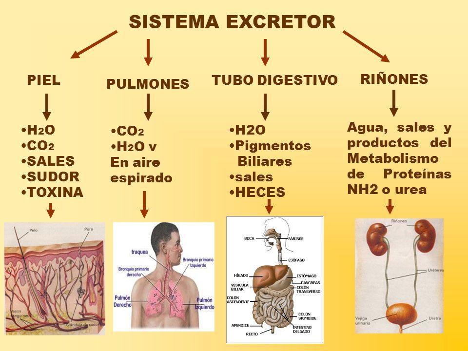 SISTEMA EXCRETOR RIÑONES PULMONES TUBO DIGESTIVO Agua, sales y productos del Metabolismo de Proteínas NH2 o urea CO 2 H 2 O v En aire espirado H2O Pigmentos Biliares sales HECES H 2 O CO 2 SALES SUDOR TOXINA PIEL