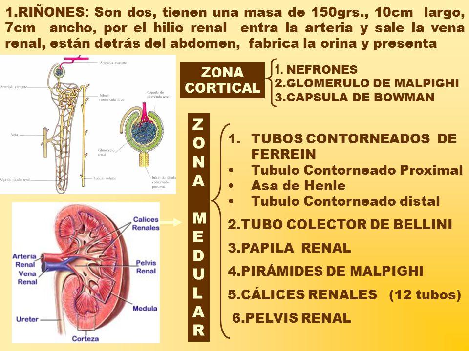 1.RIÑONES : Son dos, tienen una masa de 150grs., 10cm largo, 7cm ancho, por el hilio renal entra la arteria y sale la vena renal, están detrás del abdomen, fabrica la orina y presenta ZONA CORTICAL ZONAMEDULARZONAMEDULAR 1.