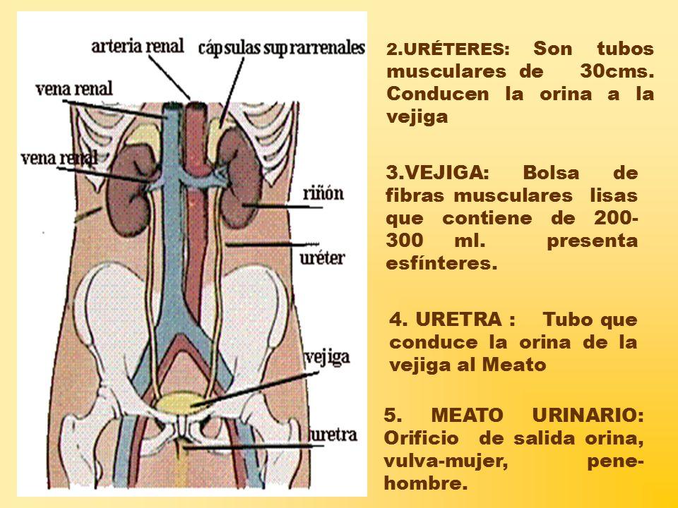 2.URÉTERES: Son tubos musculares de 30cms.Conducen la orina a la vejiga 4.