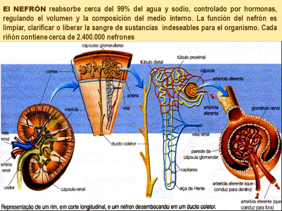 El NEFRÓN reabsorbe cerca del 99% del agua y sodio, controlado por hormonas, regulando el volumen y la composición del medio interno.