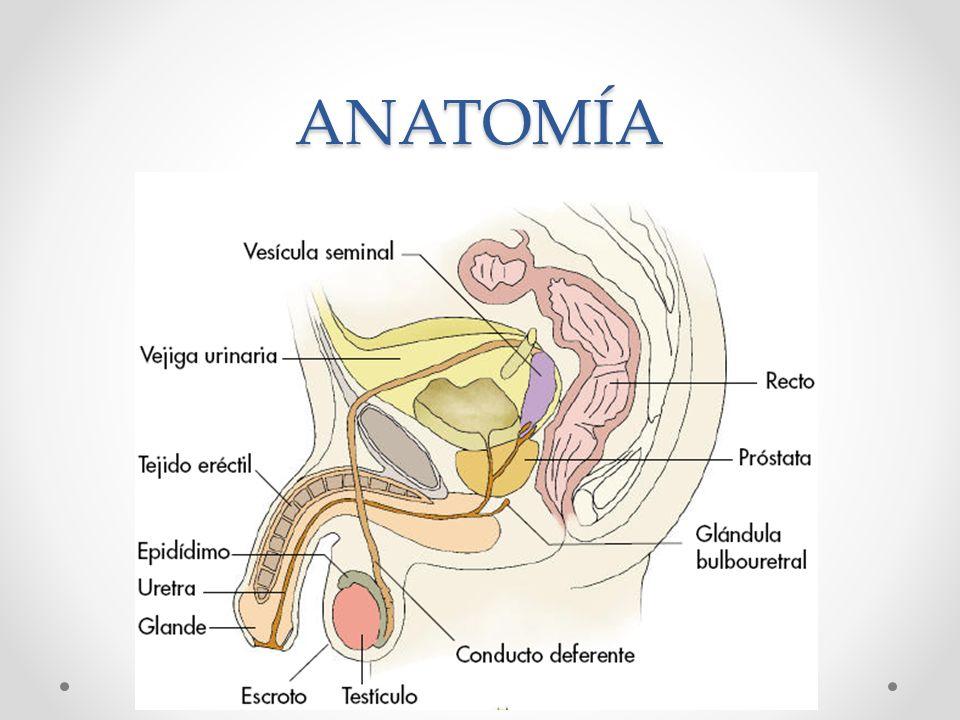 Atractivo órganos Sexuales Masculinos Anatomía Embellecimiento ...