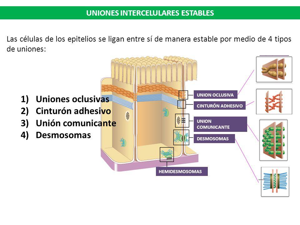 Resultado de imagen para uniones laterales en epitelio