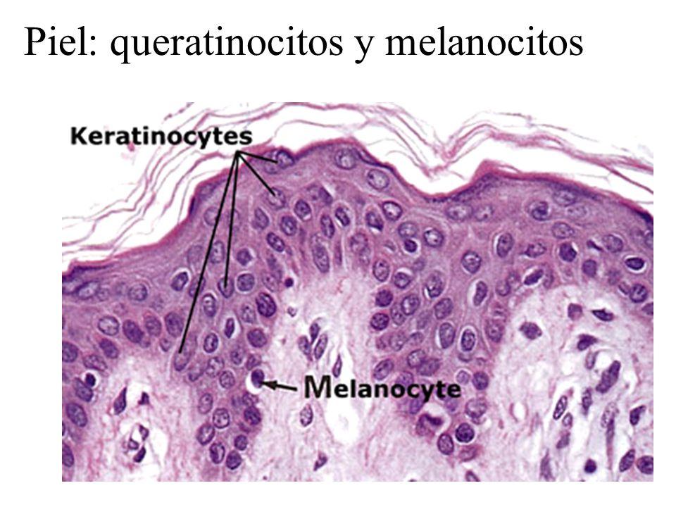 Piel: queratinocitos y melanocitos