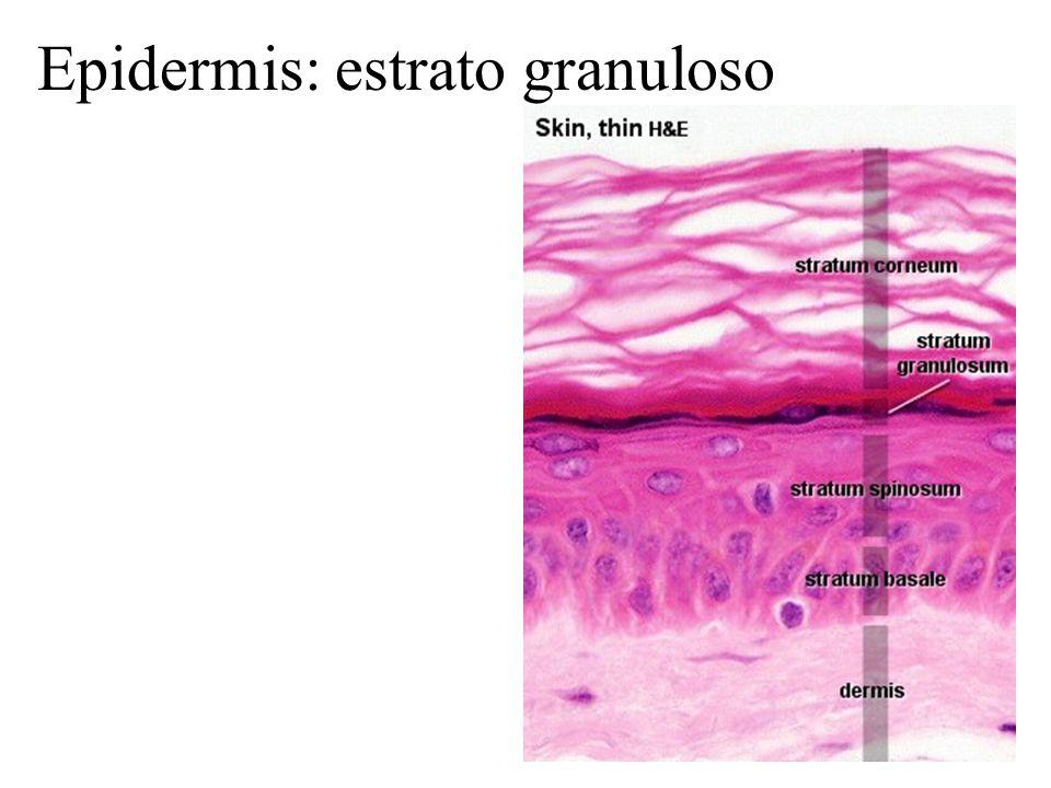 Epidermis: estrato granuloso