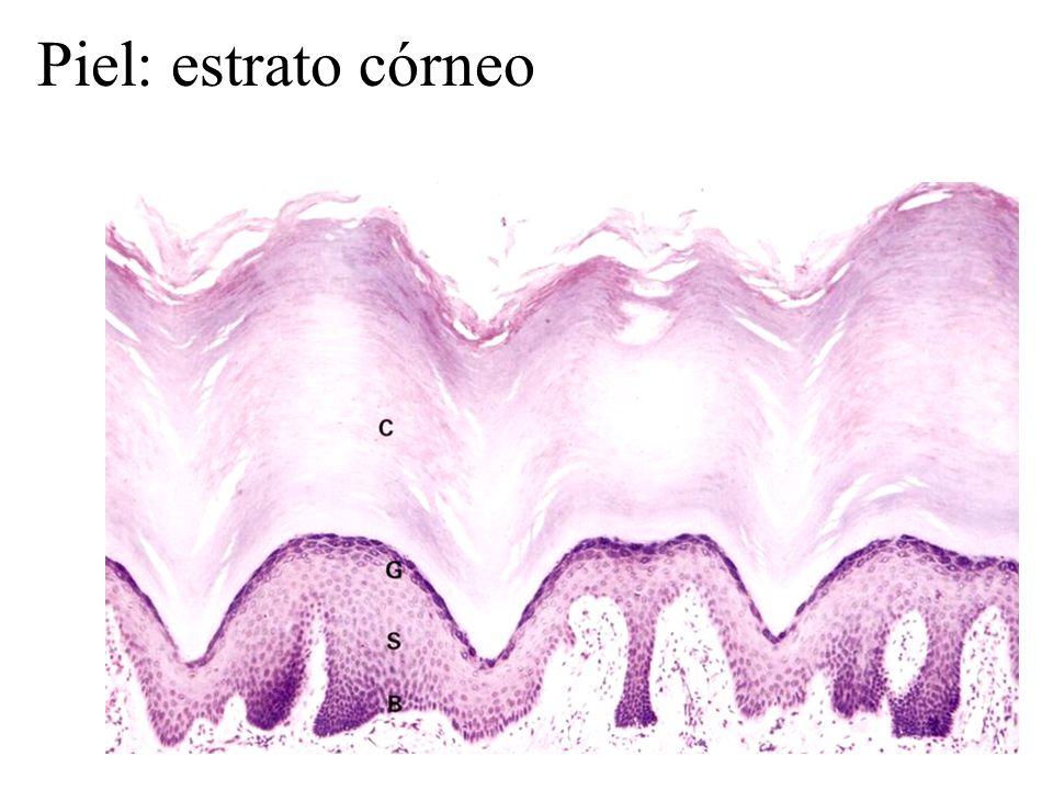 Piel: estrato córneo