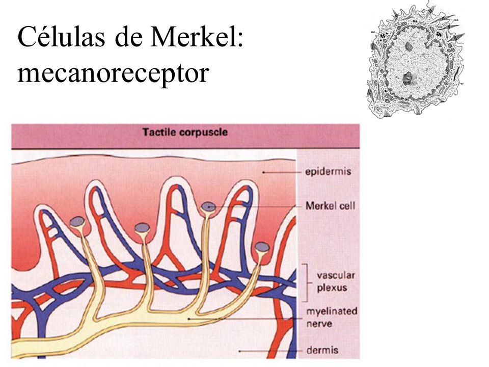 Células de Merkel: mecanoreceptor