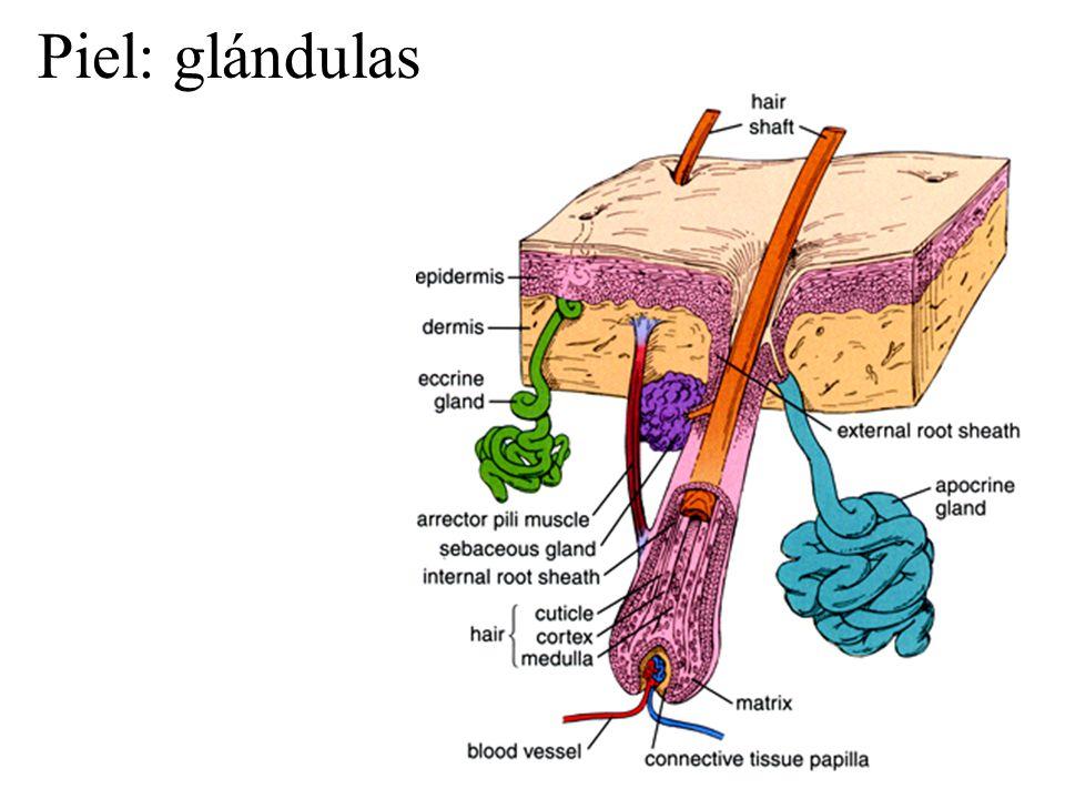 Piel: glándulas